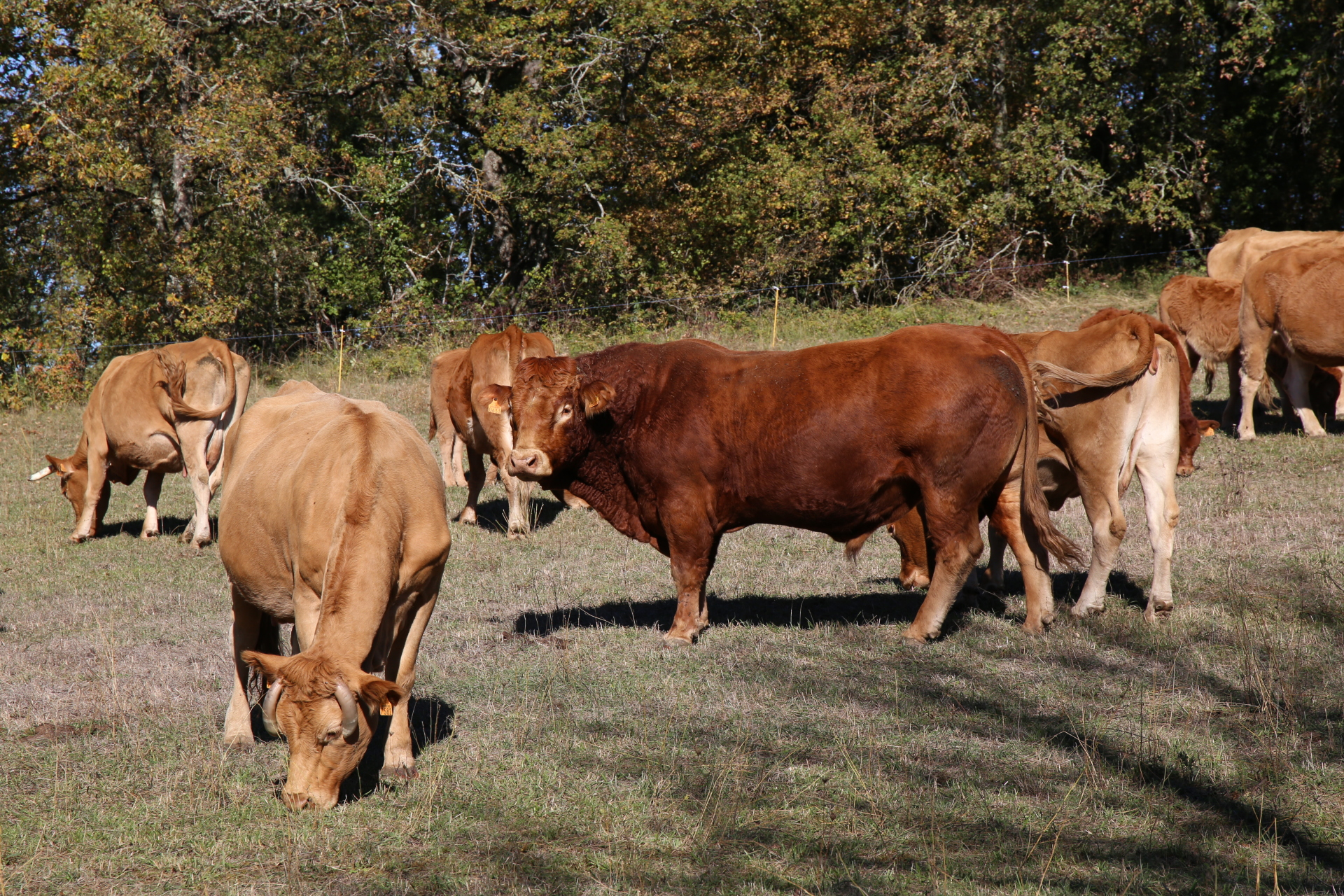 Cows grazing in the field behind our house in October